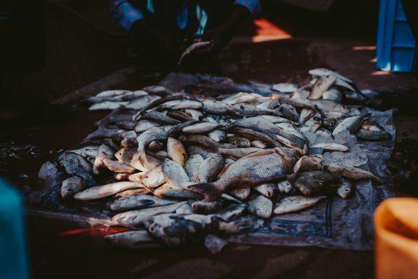 pile-of-fish-2553549